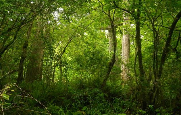Ancient Forest Tours