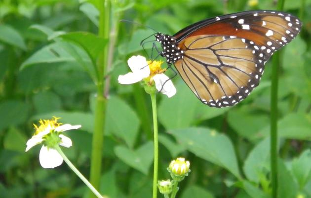Corkscrew's NABA Summer Butterfly Count