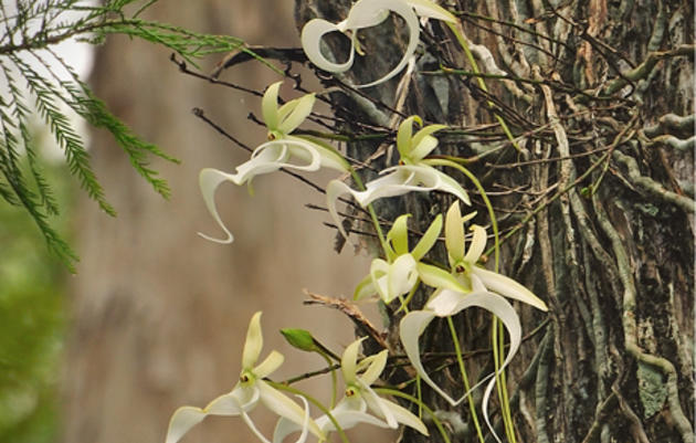 Corkscrew's Ghost Orchid