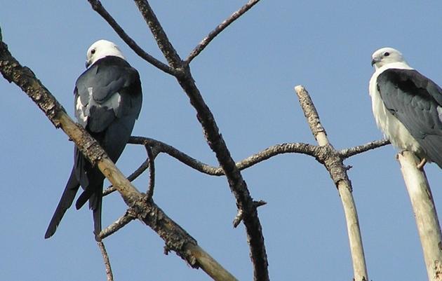 Early Birding Walks