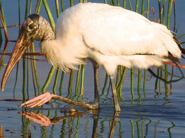 Poor Wood Stork Nesting Across South Florida