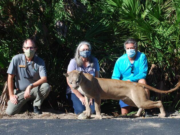 Florida Panther Mount Donated to Corkscrew Swamp Sanctuary