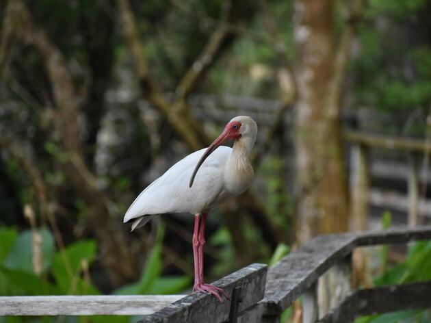 Corkscrew Swamp Sanctuary Announces Fall Program Schedule