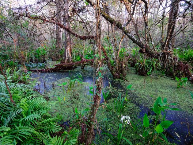 Hydrologic study reveals threats to Corkscrew Swamp
