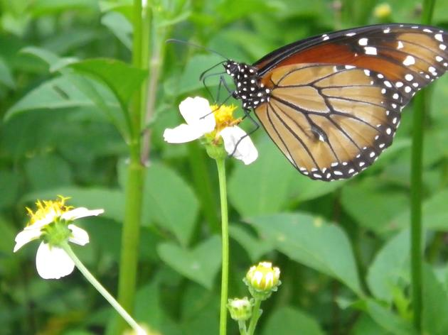 Corkscrew's NABA July Butterfly Count