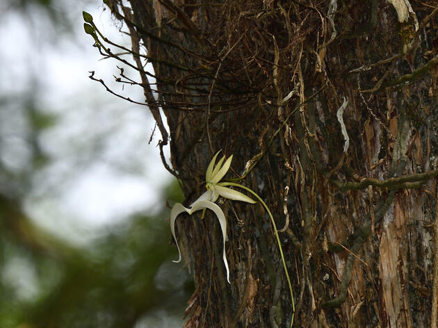 """The """"Super"""" Ghost Orchid is Blooming!"""