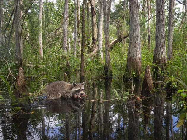 Photo from Corkscrew Swamp Sanctuary Honored in International Wildlife Photographer of the Year Contest