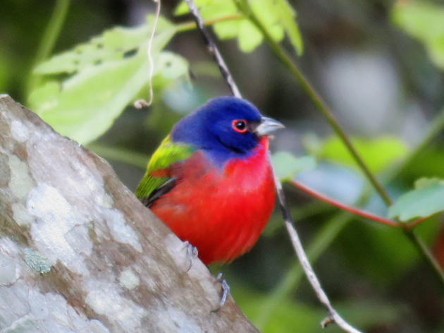 Painted Bunting and other Migratory Birds Are Returning to Corkscrew