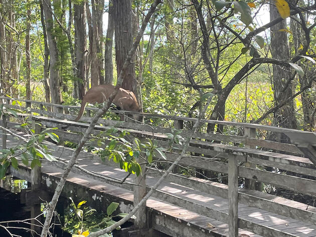 First-time Visitors to Corkscrew Swamp Sanctuary Experience Rare Sighting of a Florida Panther