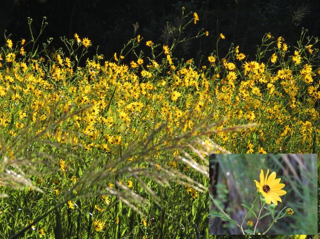 Fall Sunflower Fields in Bloom