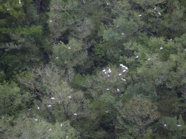 Wood Stork 2021 Nesting Season Update