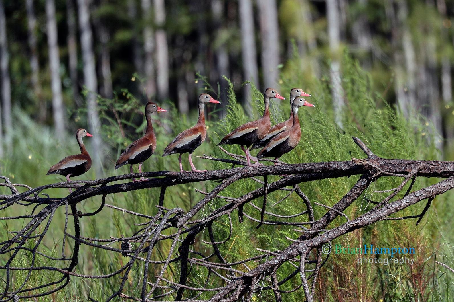 Black Bellied Whistling Ducks are a common sight in the marsh and prairie restoration plots.
