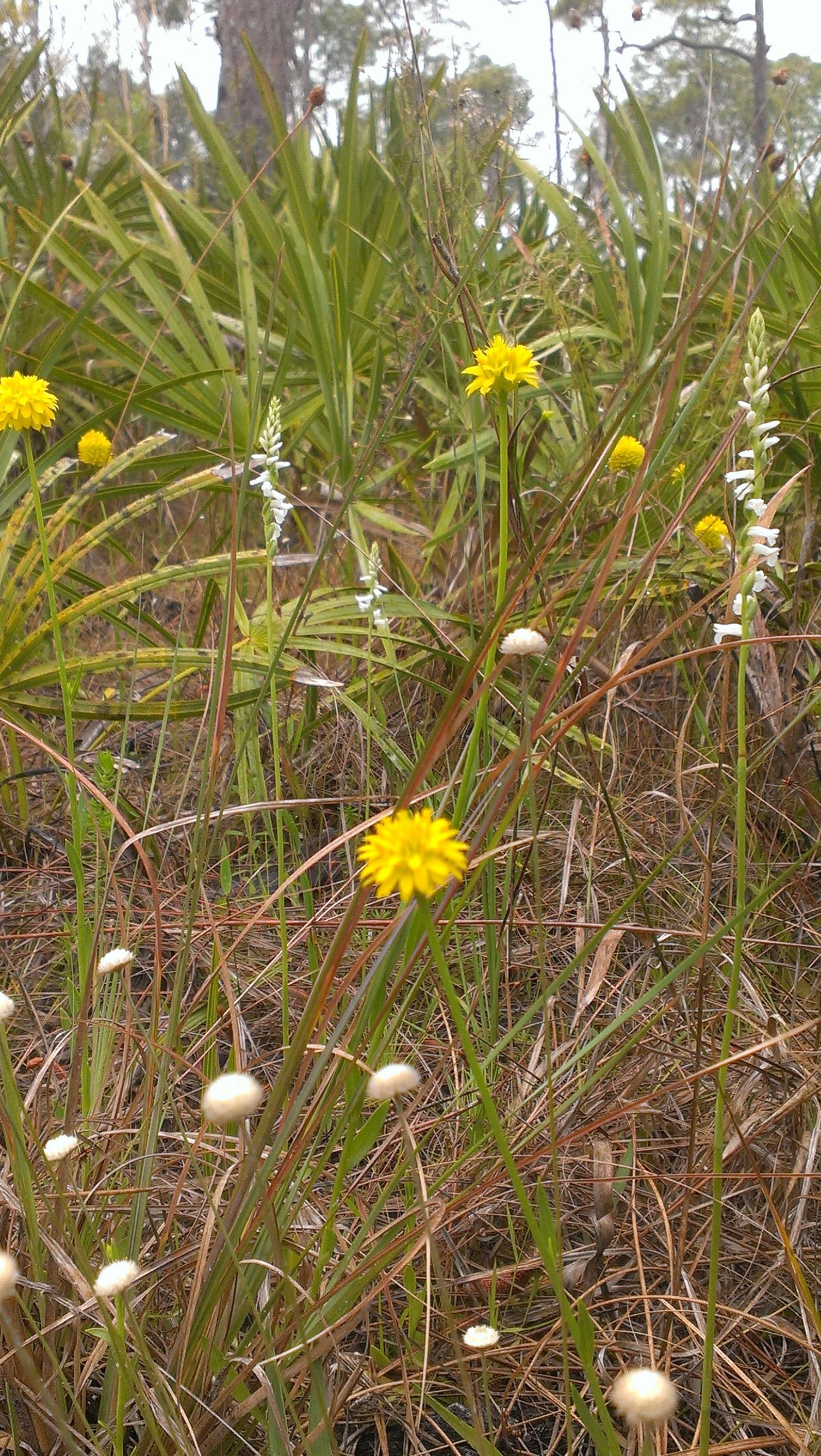 Explore Corkscrews Pine Flatwoods Audubon Corkscrew Swamp Sanctuary