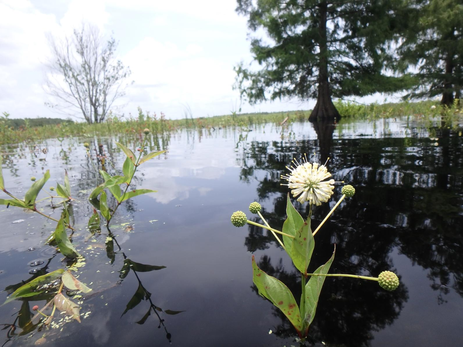 A bizarre buttonbush flower beckons pollinators just above the rising water in the 2018 marsh and prairie restoration plot.  Button bush is native, but in the absence of fire, can become invasive.