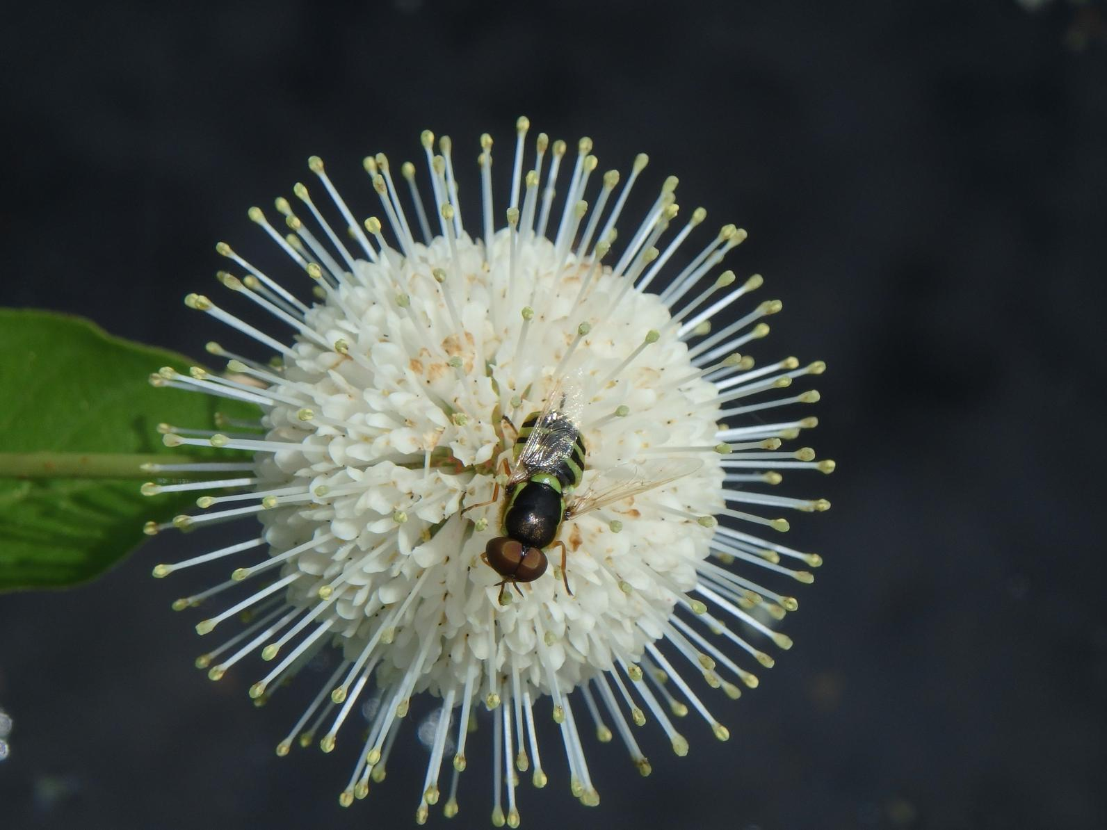 A hoverfly stops to collect buttonbush nectar from a flower in the marsh restoration plot.