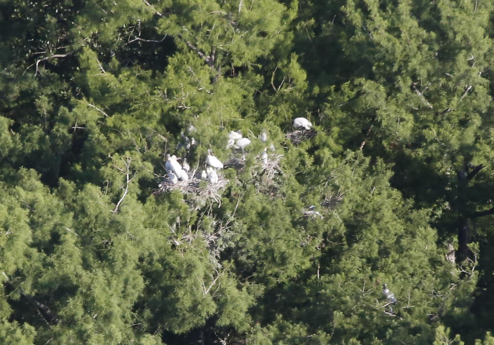 Wood stork nests