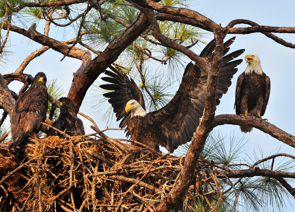 Bald Eagles Nest. RJ Wiley Photo