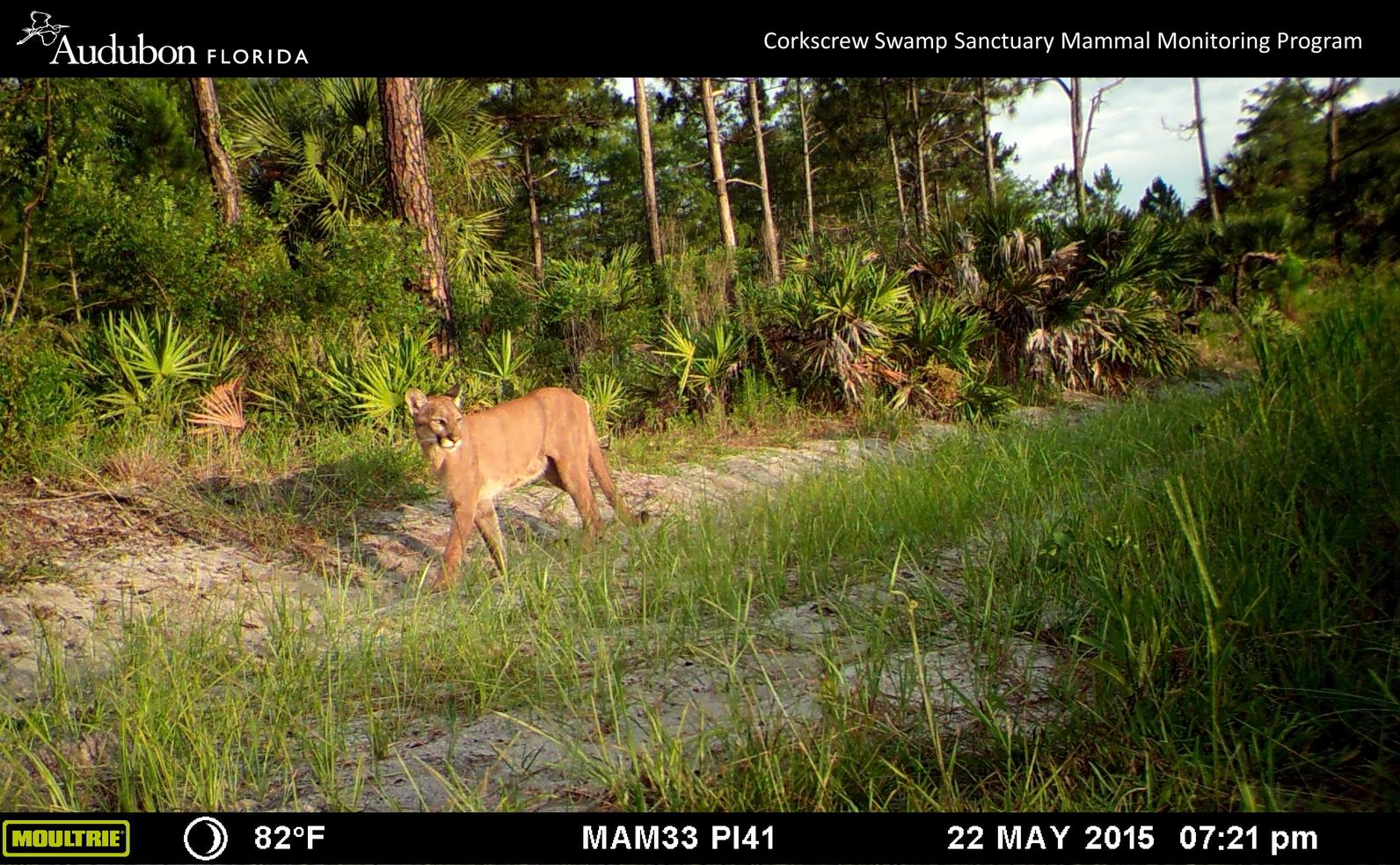 Florida panther at Corkscrew Swamp Sanctuary