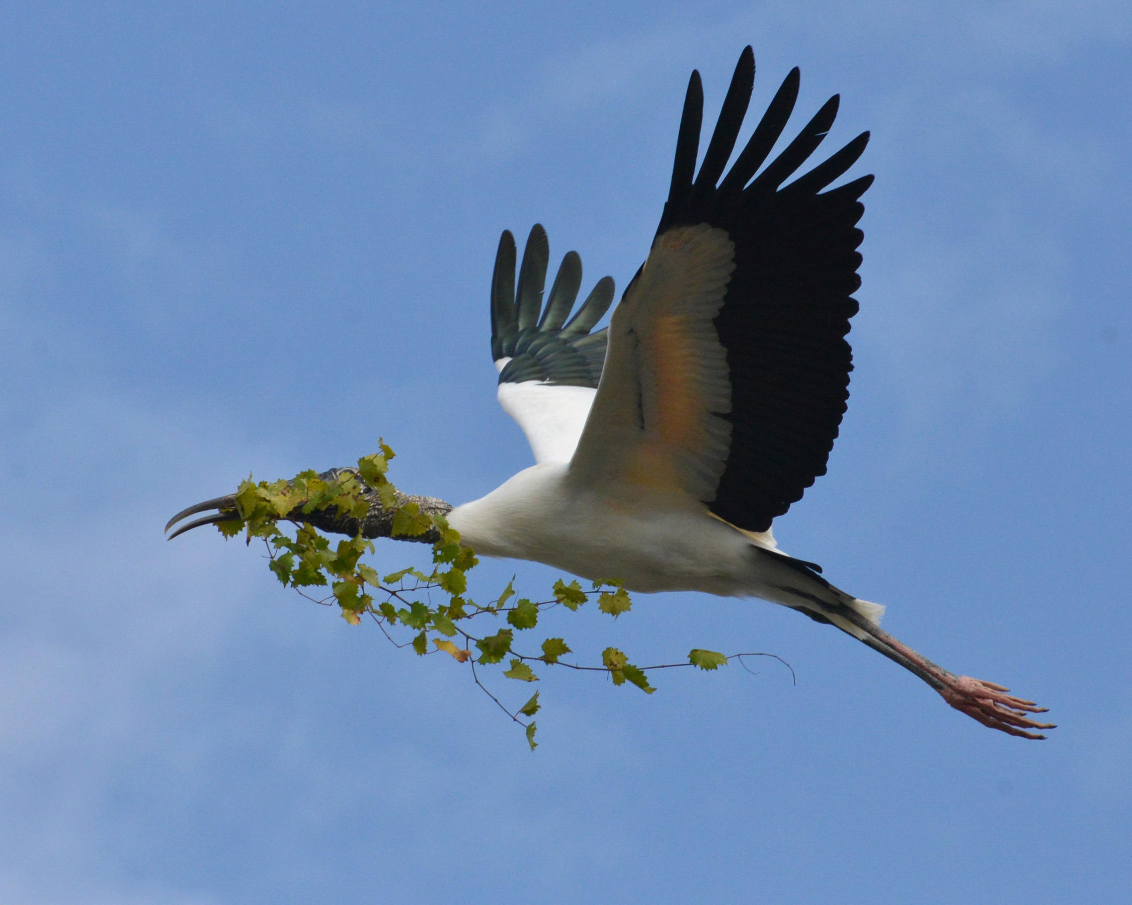 Wood Stork with nest material