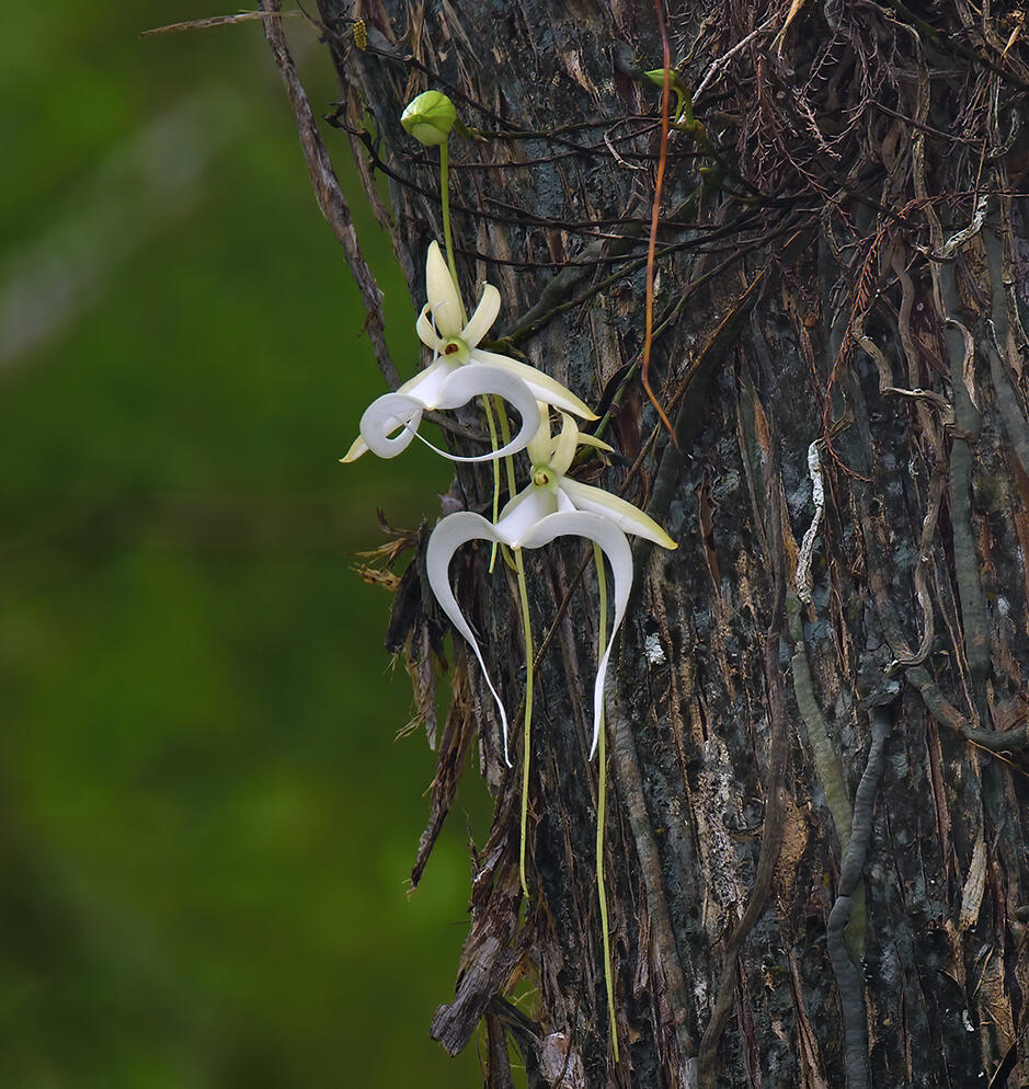 """""""Super"""" ghost orchid"""