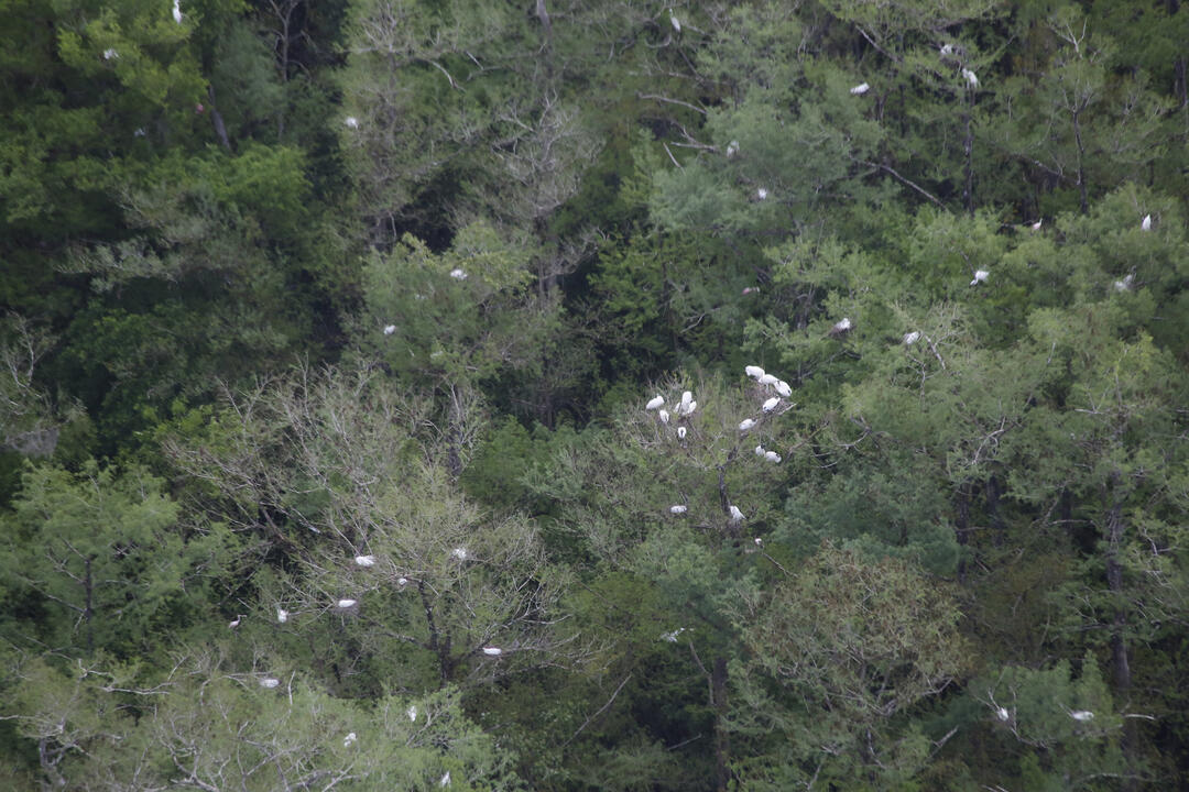 Wood Storks in the treetops